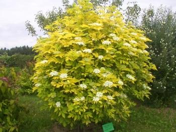 Бузина черная золотистая / Sambucus nigra Aurea.